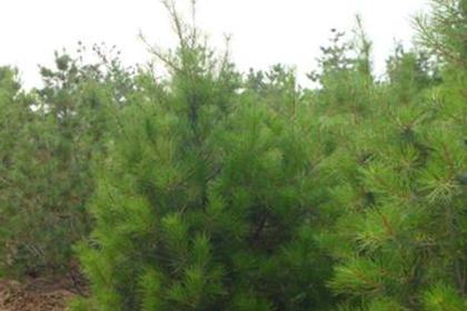 运城白皮松苗供应,园林绿化必备树种