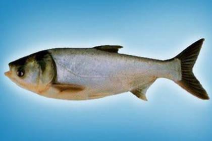太康花白鲢鱼苗价格,竭诚服务于每一位顾客