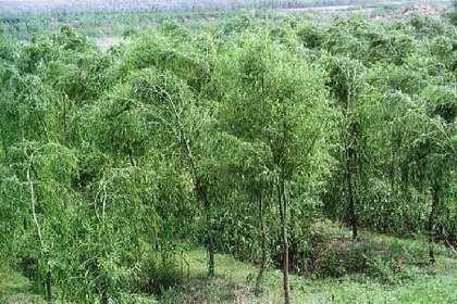 出售柳树,,