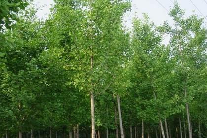 值得信赖的兰州苗木
