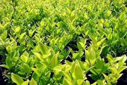 客户至上为您提供优质的苗木