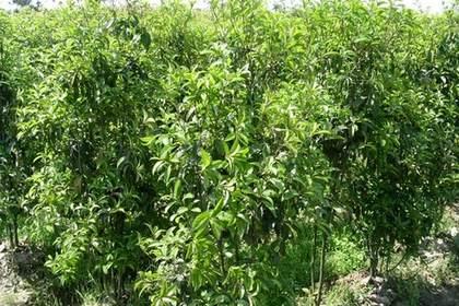 常年大量销售苗木