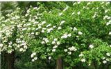 绿化苗木供应,成活率高