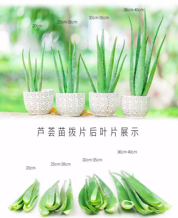 湖北武汉芦荟种植基地