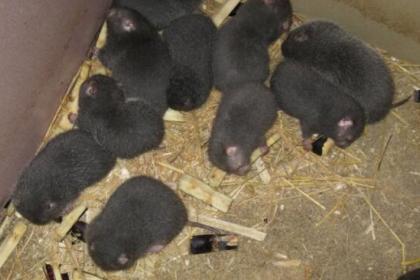 保山竹鼠养殖