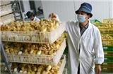 卡基康贝尔鸭鸭苗供应,产蛋性能好,性情温驯,适于圈养