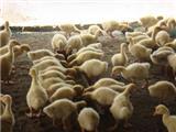 优质鹅苗孵化销售 ,超低价直销热卖,欢迎电话订购