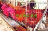 广州土鸡苗供应