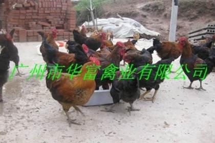 广东鹅苗价格