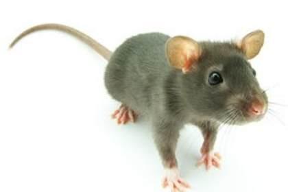 焦作灭鼠公司,酒店灭鼠经验丰富