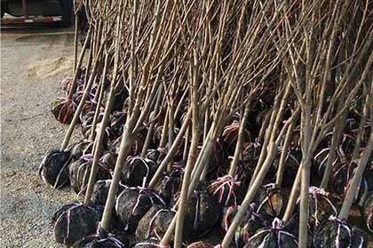 脆红李苗种植基地