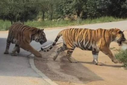 八达岭野生动物园老虎伤人案,将于12月19日在北京延庆法院开庭审理.