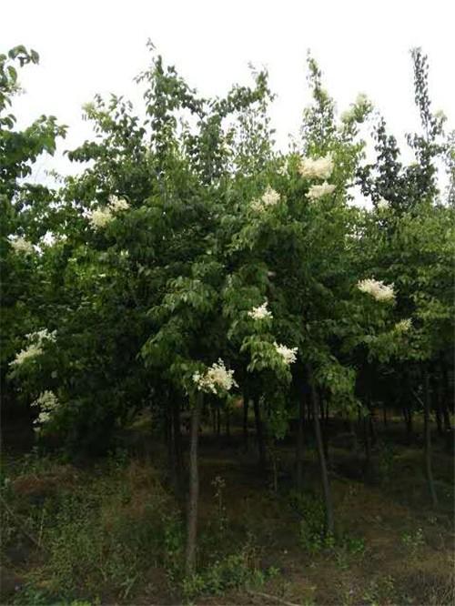 河北花灌木类养植