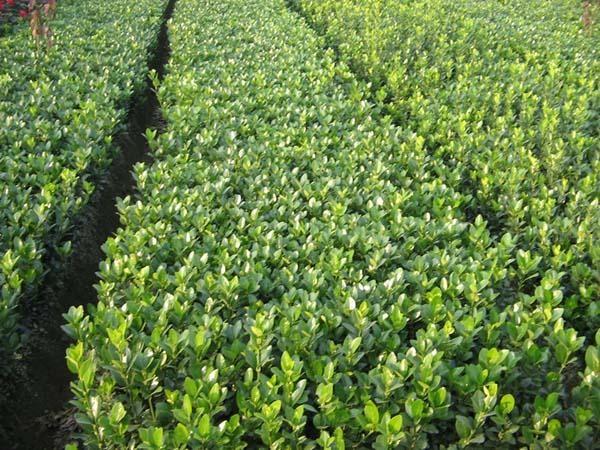 常绿类苗木供应