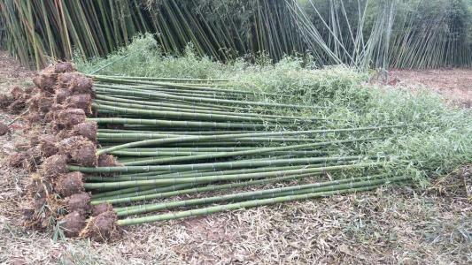 福建草珊瑚种苗基地