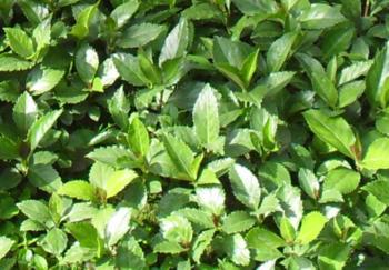 三明草珊瑚种苗批发