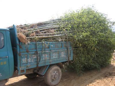 三明草珊瑚种苗价格