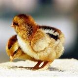 广州鸡苗孵化,从心开始,诚信服务