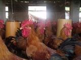 广州鸡苗孵化,客户是我们的上帝