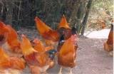 广州鸡苗孵化