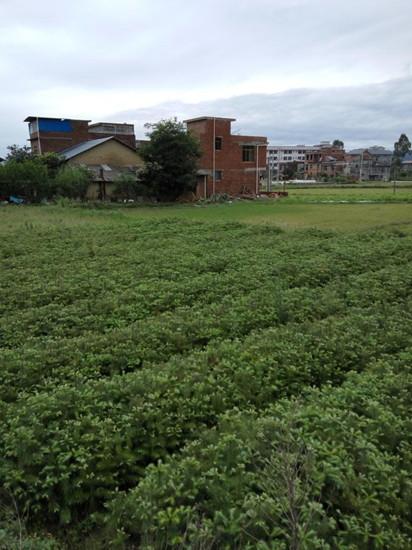 广西杉木种子
