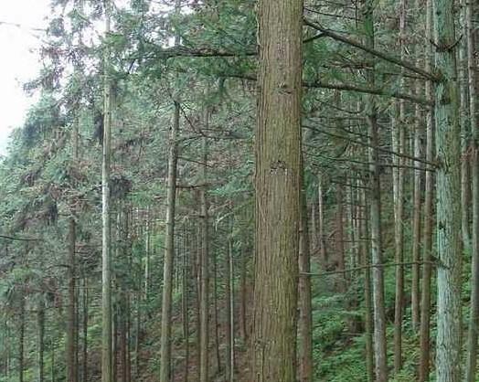 广西杉树种子