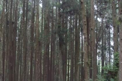 广西杉树苗