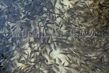 山东黑鱼苗养殖