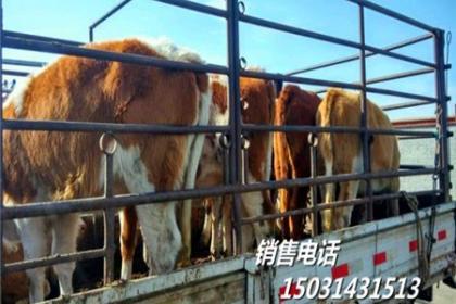 张家口肉牛销售
