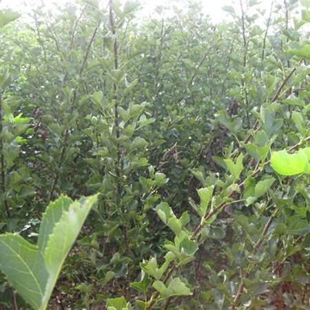 山西国槐种植基地