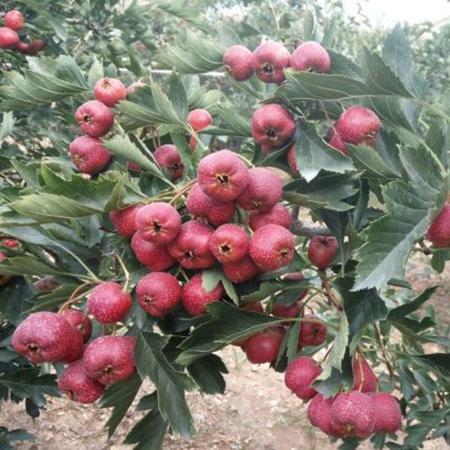 山西柿苗枣树苗种植基地