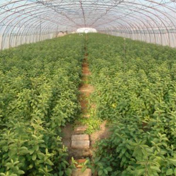 山西运城核桃苗种植基地