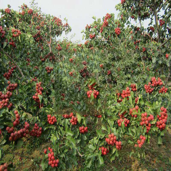 运城苹果苗基地