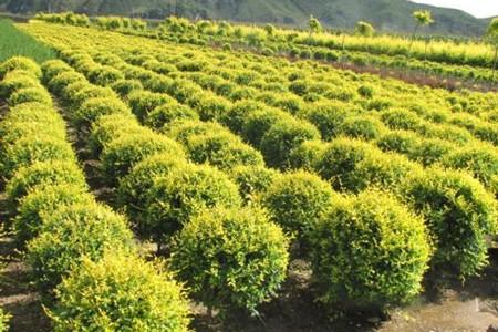 保定永兴园林常年出售各种大乔木