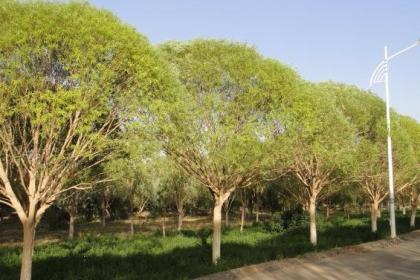 河北保定火炬树种植基地