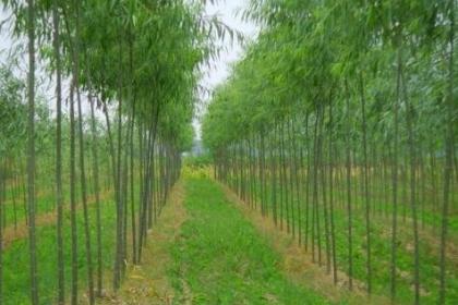 常年批发供应火炬树价格优惠