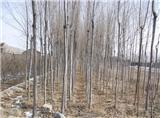 甘肃兰州苗木绿化批发