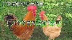 广州鸡苗批发