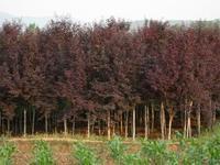 兰州苗木销售