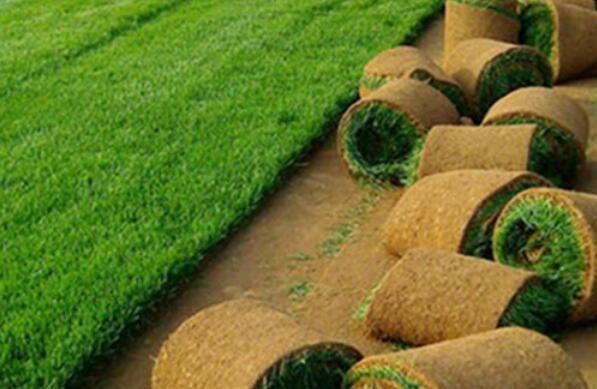 石家庄草坪价格