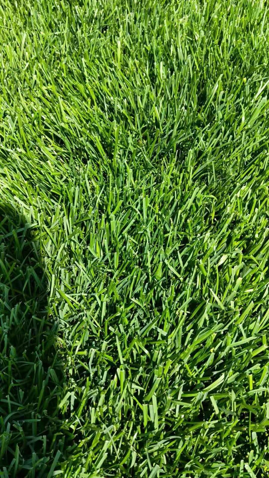 河北草坪种植基地