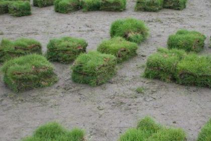 长春哪有草坪卷