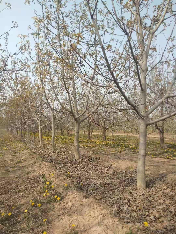 核桃树10.jpg