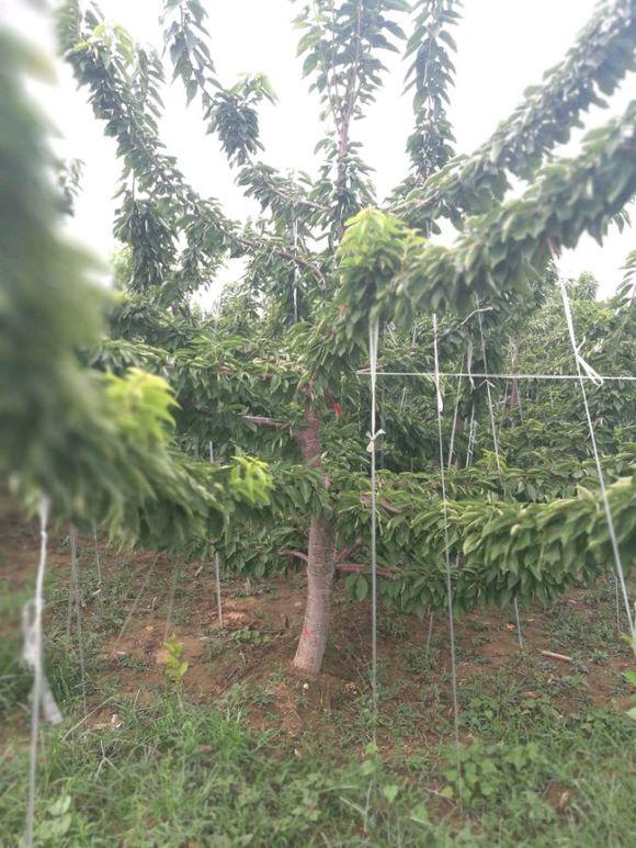 樱桃树5.jpg