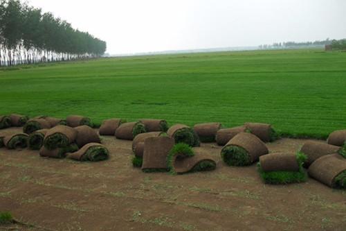 石家庄绿化草坪批发