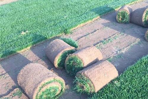 早熟禾草坪价格