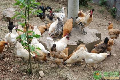 林地生态养鸡密度与养殖规模的关系