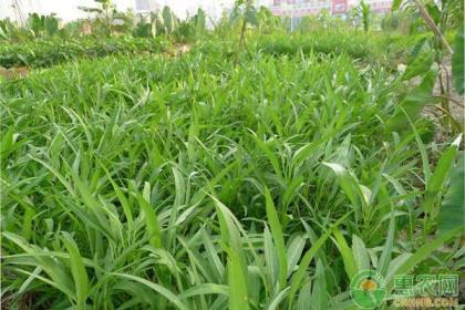 空心菜的种植时间及种植技术