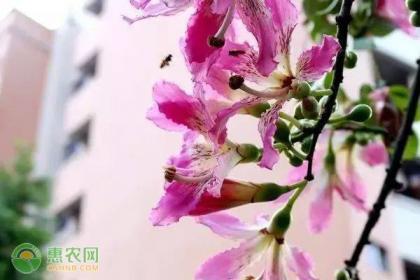 美人树的养殖要点及繁殖方法