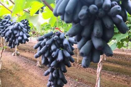 秋冬葡萄冻害别大意,可能造成葡萄大减产,防冻措施需看看